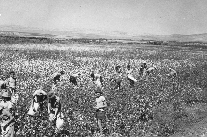 800px-PikiWiki_Israel_3290_Picking_Cotton
