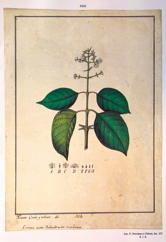 """An image from """"Flora Huayaquilensis,"""" a visual collection of South America's plants as seen by Spanish botanist Juan José Tafalla during a 1785 expedition through Peru and Chile. ([Juan Tafalla], """"Flora Huayaquilensis,"""" ourheritage.ac.nz 