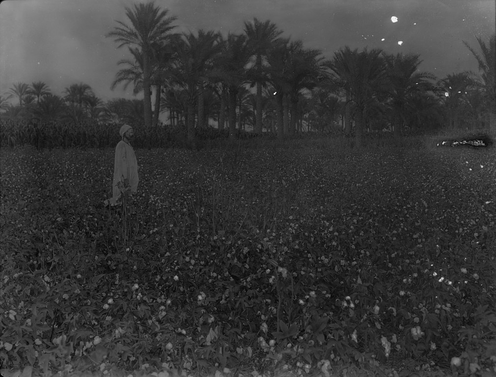 A man stands in a cotton field.